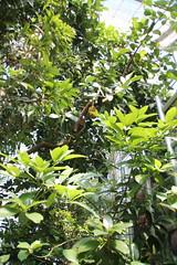 IMG_2280 (Mercar) Tags: canada garden botanical montreal jardin greenhouse botanic jackfruit botaanikaaed qubeck