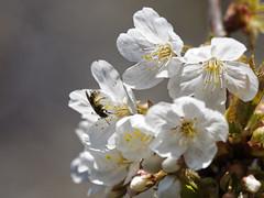 le printemps (laurent gayte) Tags: fleur olympus arbre printemps abeille em1 300mmf4 laurentgayte