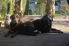 wishing you a sunny weekend (Suzanne's stream) Tags: black dogs labrador chocolate lola adorable cesar