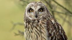 Look Into My Eyes... (KHR Images) Tags: wild portrait closeup nikon wildlife short owl perched cambridgeshire seo eared naturephotography shortearedowl asioflammeus d7100 8004000mmf4556 kevinrobson khrimages fendraytonlakesrspb