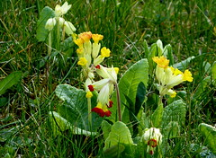 Echte Schlsselblume (Primula veris) (happycat) Tags: orange flower rot germany thringen jena gelb blume wildflower primulaveris wildblume anomalie schlsselblume echteschlsselblume anomaliebltenfarbe blumedesjahres2016inde