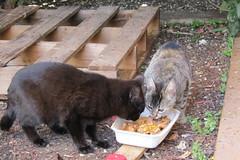 IMG_0330 (pcolmena) Tags: gris gato comiendo rubio micho