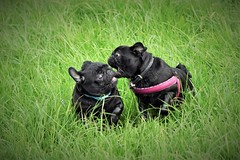 Puggy playtimes....... (2jaysjoju) Tags: morning playing black silly green dogs field grass tia fun outside outdoors long faces walk luna expressive antics pugs