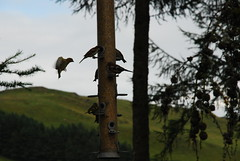Wales, Ceredigion, Bwlch Nant yr Arian Red Kite Centre - birds on bird feeder (Biffo1944) Tags: kite bird wales ceredigion yr nant red centre kite arian bwlch