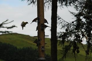 Wales, Ceredigion, Bwlch Nant yr Arian Red Kite Centre - birds on bird feeder