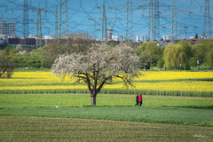 Back to Nature.... (Bommer60) Tags: blue trees dog green nature germany walking de landscape deutschland spring blossom outdoor farming bluesky powerlines crops pylons landschaft wald baum mannheim bauernhof frhling fram badenwrttemberg springwatch seckenheim bluemoment rapps rappsfield shnemannheimsmeinestadt