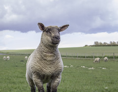 Smile your on film :) (GPC- photos) Tags: smile animal eyes sheep farm country ears lamb canon700d