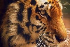 Togar Amur (Keith Mac Uidhir  (Thanks for 3.5m views)) Tags: ireland dublin orange white black animal zoo tiger irland tigris dier tigre animalia tier dublino irlanda irlande ierland irska dubln irlandia lirlanda irsko  airija irlanti  cng  iirimaa ha     rorszg         rlnd