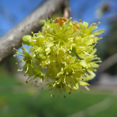 Not yet maple blossoms (Coyoty) Tags: flowers blue brown sun plant macro tree green college nature water colors closeup grey droplets spring maple flora branch close bokeh connecticut cluster blossoms gray newengland ct sunny dew twig farmington biodiversity tunxiscommunitycollege