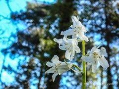 Bluebells at Clyne Gardens, Swansea 2016 04 20 #18 (Gareth Lovering Photography 2,000,000 views.) Tags: flowers gardens bluebells wales olympus lovering clyne clyneinbloom swanseainbloom