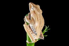 Borneo Eared Frog, CaptiveLight, Bournemouth, UK (rmk2112rmk) Tags: uk amphibian frog bournemouth captivelight borneoearedfrog polypedatesotilophus