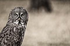 Paddington Bear (Tracey Rennie) Tags: wild bokeh hunting greatgreyowl alberta owl stare