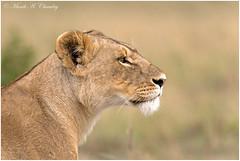 Queen of the Savannah! (MAC's Wild Pixels) Tags: kenya ngc lion npc lioness lionking wildcats lionpride femalelion africanwildlife wildafrica queenofthejungle maasaimaragamereserve queenofthesavannah macswildpixels
