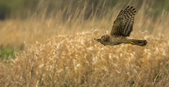 The dance of the Northern Harrier.... (island deborah- nature website deborahfreeman.ca- ) Tags: delta northern harrier