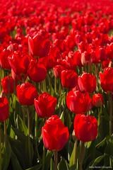 Rode tulpen (maria.nevels) Tags: red holland tulips bollen tulpen rode