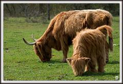 Scne familiale (mostodol) Tags: nature wow cow fuji highland fujifilm iledefrance vache seineetmarne xa1 greatestphotographers