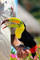 Toucan (Brian 104) Tags: bird toucan colorful