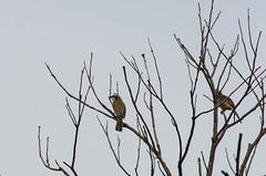 .yellow-vented bulbul (arcibald) Tags: bird birds philippines sanjose aves batangas bulbul yellowventedbulbul pycnonotusgoiavier