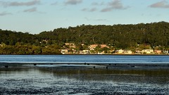 Black swans and low tide at the Waterfront (Merrillie) Tags: trees houses sea sky seascape nature water clouds landscape bay boat nikon waterfront australia swans waterscape blackswans brisbanewater woywoy d5500 nswcentralcoastnsw centralcoastnsw