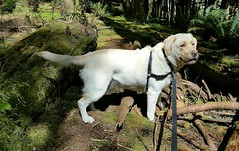 Gracie in her forest domain (walneylad) Tags: dog pet cute puppy spring gracie lab labrador canine april labradorretriever