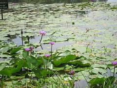 IMG_6806.jpg (Kuruman) Tags: lake sylhet bangladesh srimangal