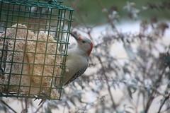 Red-Bellied Woodpecker (Saline, Michigan - January 1, 2016) (cseeman) Tags: birds woodpecker michigan redbelliedwoodpecker saline suet suetfeeder