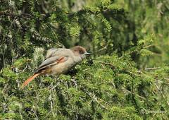 Arrendajo Siberiano Siberian Jay (Perisoreus infaustus) (Corriplaya) Tags: birds aves siberianjay perisoreusinfaustus arrendajofunesto corriplaya arrendajosiberiano