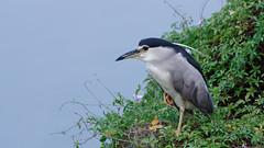 Night heron (jc.han) Tags: pentax hsinchu perch 新竹 nightheron 夜鷺 pentaxfa300f45 金雞獨立 standononeleg pentaxk5iis