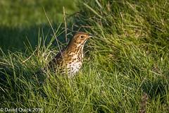 (DavidQuick) Tags: england reserve hampshire marsh thrush wildlifetrust farlington copyrightdavidquick2016
