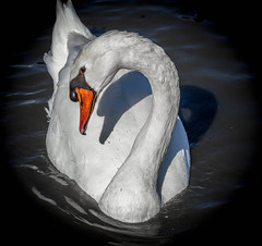 Katie the Mute Swan_MG_0107 (918monty) Tags: dallas texas shadows muteswan whiterocklake cygnus sunsetbay canon7d beautifulswan adobelightroom63