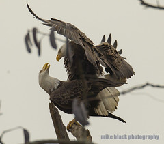 Bald Eagles mating NJ shore (Mike Black photography) Tags: new white black bird mike nature animal canon lens flying is eagle body birding january feathers bald nj photograph raptor shore jersey l usm dslr birdwatching 800mm 2016 1dx