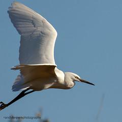 Little Egret (ABPhotosUK) Tags: birds animals canon inflight wildlife devon nocrop littleegret rivertavy bitternsandherons eos7dmarkii
