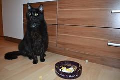 Samanta - 10.01.2015 (GoldstadtTV) Tags: pet black cat essen eat katze schwarz samanta fressen кошка schwarze черная