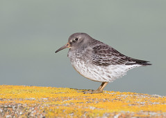Purple Sandpiper - Calidris maritima (Gary Faulkner's wildlife photography) Tags: newhaven purplesandpiper sussexbirds