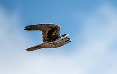 Prairie Falcon - lifer (Ruthie Kansas) Tags: