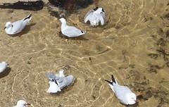 Seagull (Robbie Guarino) Tags: birds silvergull