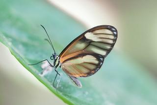 Pteronymia aletta (?) butterfly