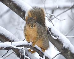 Fox Squirrel (Sciurus niger) (wplynn) Tags: niger rodent squirrel indianapolis indiana fox rodentia castleton sciurus