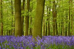magical world (C-Smooth) Tags: uk flowers trees england green nature bluebells forest woodland landscape spring nikon pretty colours purple walk natureza foliage dreamy footpath dreamland bluebellwoods purplecarpet