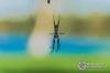 DSC_7206 (Isaeagle) Tags: blue green nature animals fauna outside spider outdoor wildlife web australia queensland outback mountisa 8legs