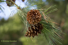 IMG_0889 (Emma Gordon10) Tags: trees nature abbey gardens outdoor pinecones anglesey