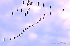 Autumn Canada Geese in Aerodynamic Flight Pattern Over (1 of 3) Duke Farms of Hillsborough NJ (takegoro) Tags: pink autumn sunset canada fall nature clouds geese pattern dusk flight v vee sanctuary naturepreserve magic dukefarms nj hour hillsborough
