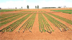 CP_DRIP_SI (ICARDA-Science for Better Livelihoods in Dry Areas) Tags: farmers northafrica climatechange mena pulses ifad nutrition resilience drylands icarda incomes westasia croprotation seedsystems conservationagriculture euifad wheatlegumecroppingsystems