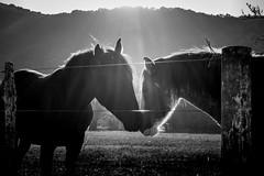 Backlit Horse Romance (hzeta) Tags: light horses bw white black mountains love blanco luz backlight contraluz caballos countryside y amor negro romance bn campo backlit montañas