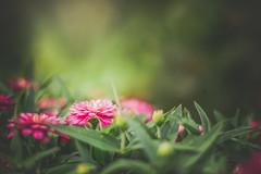 The Secret (Elizabeth_211) Tags: pink flowers nature closeup bokeh tennessee jacksontn canonef50mmf14 westtn utgardensjackson sherielizabeth