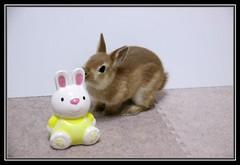 Rabbit & Rabbit (mensore) Tags: brown rabbit bunny san ichigo  netherlanddwarf