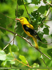 Golden Oriole (Oriolus oriolus) (gilgit2) Tags: pakistan birds fauna canon geotagged wings wildlife feathers sigma tags location species category avifauna gilgit oriolusoriolus gilgitbaltistan sigma150500mmf563apodgoshsm imranshah canoneos70d jutial goldenorioleoriolusoriolus gilgit2