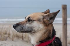 Contemplating (Monika Kalczuga) Tags: sea portrait dog pet holland beach nature netherlands animal outdoor shore petten