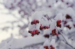 (HolmisticWalker) Tags: film december bokeh fujisuperia400 ef50mmf18 epsonv550