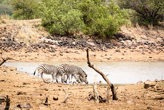 The Watering Hole (Dean Packer) Tags: southafrica drive safari zebra gamereserve pilanesburg